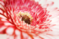 red white gerbera by tr-design