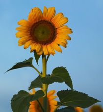Sunflower Portraits #1 by photography-by-odille