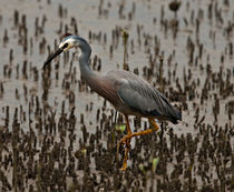 White faced heron, Egretta novaehollandiae von photography-by-odille