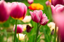 Beautiful spring tulips by tkdesign
