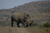 Rhinoceros by photomarc