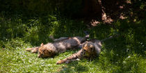 Cheetah cubs resting by safaribears