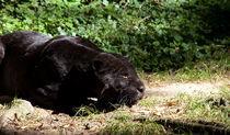 Black Panther by safaribears