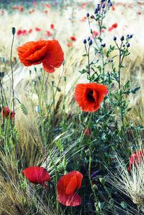 Poppies von mohnblumen