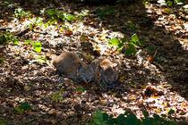 Lynx cubs von safaribears