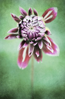 Dahlia Flower 3 by Neil Overy
