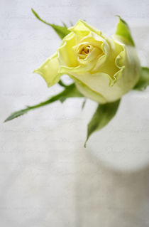 Single Rose von Neil Overy