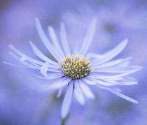 Purple Aster von Neil Overy