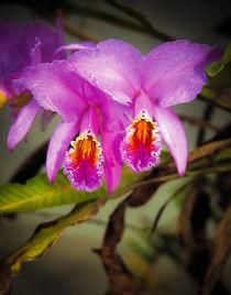 Flor de Mayo, national flower of Venezuela by Juan Carlos Lopez