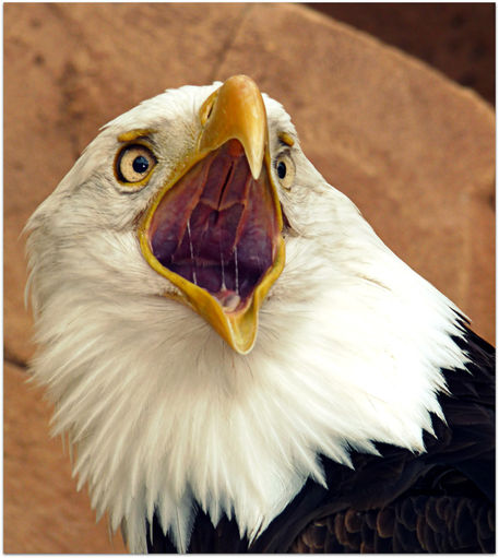Eagle beak - photo#11
