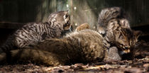 Scottish Wildcat mother and kittens playing  von Linda More