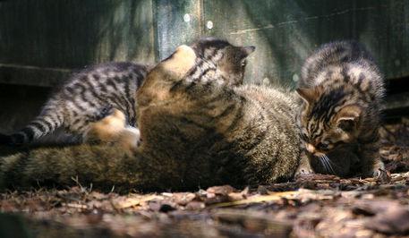 Wildcat-kittens-img-0275