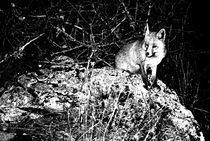 Wildlife Fox von clichefotos