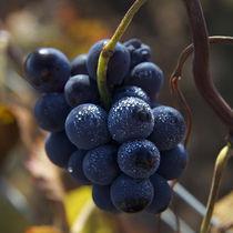 Pinot Noir von Nathalie Knovl