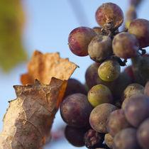 Last grapes von Nathalie Knovl
