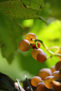 Golden red grapes von Nathalie Knovl