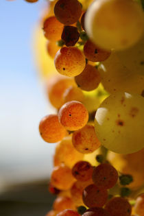 Golden red grapes by Nathalie Knovl