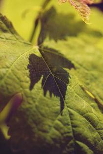 Vine shadow  by Nathalie Knovl