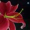 Moonlight-lily