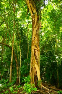 Mystischer Baumriese inmitten des Regenwaldes bei Palenque von mellieha