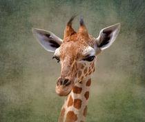 Baby-giraffe3266a
