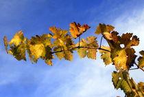 Fall-grape-vine