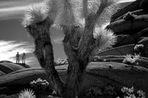 YUCA PLANT 29 PALMS by Brian  Leng