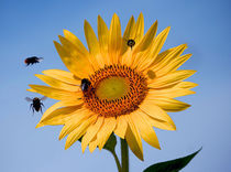 Sunflower and four bees by Joanna Urwin