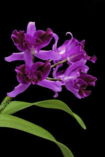 Orchidee-Laelio Cattleya-orchid by monarch