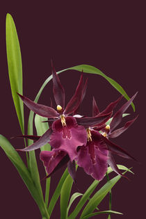Orchidee-Miltassia Royal Robe-orchid by monarch