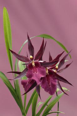 Orchid-miltassia-d-rot1403-c-du-rosa-finx-fest2