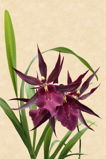 Orchidee-Miltassia Royal Robe-orchid von monarch