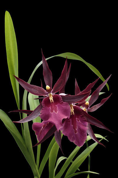 Orchid-miltassia-1403-c-schwarz-fin-x-fest