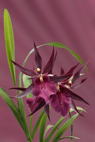 Orchid-miltassia-d-rot1403-c-rostrot-finx-fest2