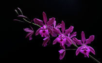 Orchidee Epicattleya Plicaboa - orchid by monarch