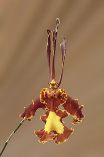 Schmetterlingsorchidee - butterfly orchid  by monarch