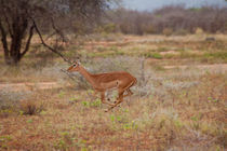 Impala jumping away von safaribears