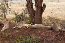 Lion family resting in the African Heat by safaribears