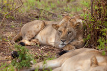 Tsavo Lion by safaribears