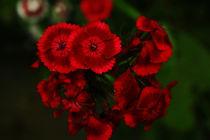 carnation von Alicja Bzdak