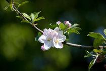 Spring Blossom by safaribears