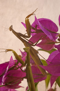 Mantis by pahit