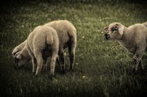Sheep II by gnubier