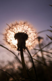 dandelion by tr-design
