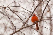 Cardinal by Christine Amstutz