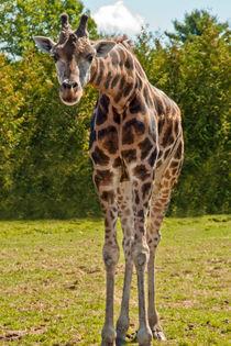 Giraffe ... Who are you?? von Christine Amstutz