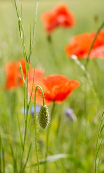 Red poppy flowers by Olha Shtepa