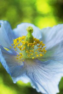 Blue Poppy by julie normandin
