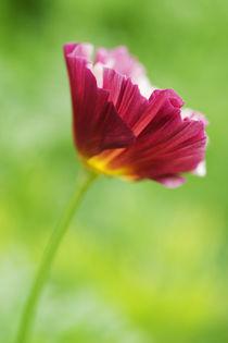 California Poppy von julie normandin