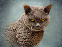 Phoebe the British Blue Cat von Louise Heusinkveld